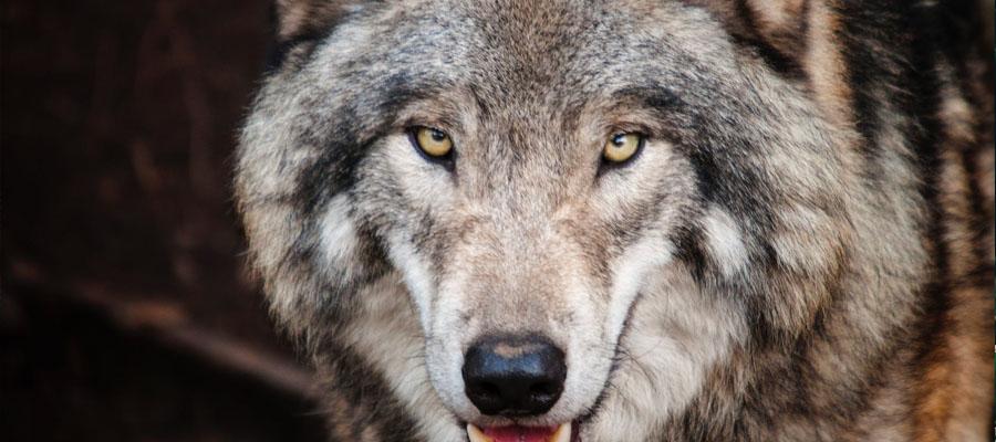 ภาพที่โดดเด่น ซีรีส์จีนสุดฮ็อตในปี 2020 The Wolf - ซีรีส์จีนสุดฮ็อตในปี 2020
